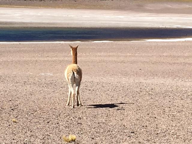 Wildlife in der Atacama Wüste