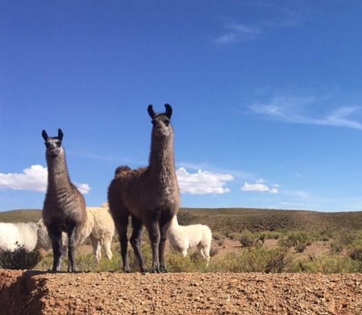 Lamas – zur Abwechslung in Schwarz