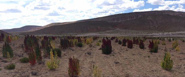 Uyuni-Tour: Quinoa-Anbau