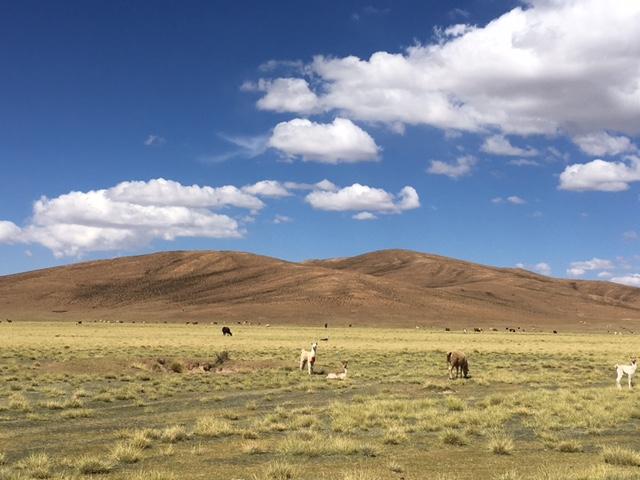 Uyuni-Tour: In den Steppen trifft man immer wieder auf Lamas, Alpakas, Vikunjas.