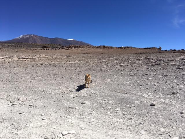 Uyuni-Tour: Ein Fuchs!!