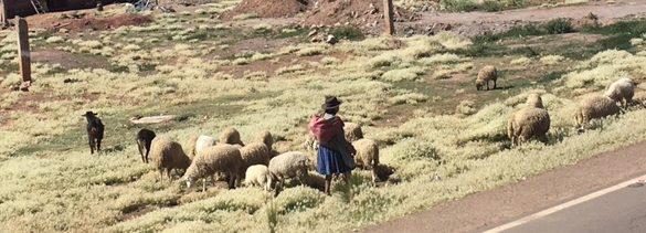 Beim Schafehüten