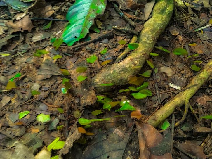 Ameisen, die man nicht sieht, weil sie sich unter den Blättern befinden, die sie durch den Dschungel transportieren. Es gibt ganze Straßen davon, die durch den Dschungel führen.