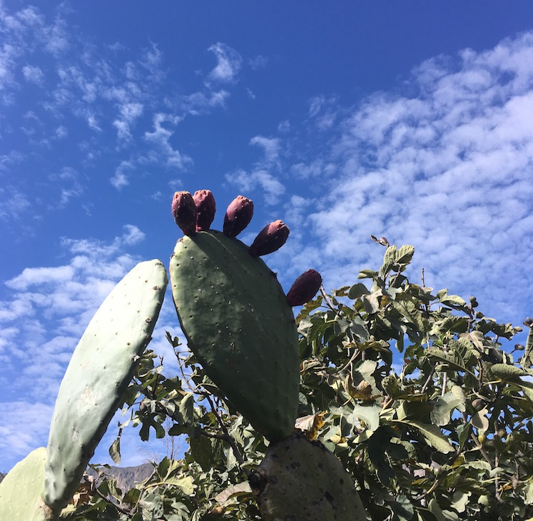 Kaktusfeige (Spanisch: Tuna - und ich dachte immer, die Rede ist von Thunfisch)