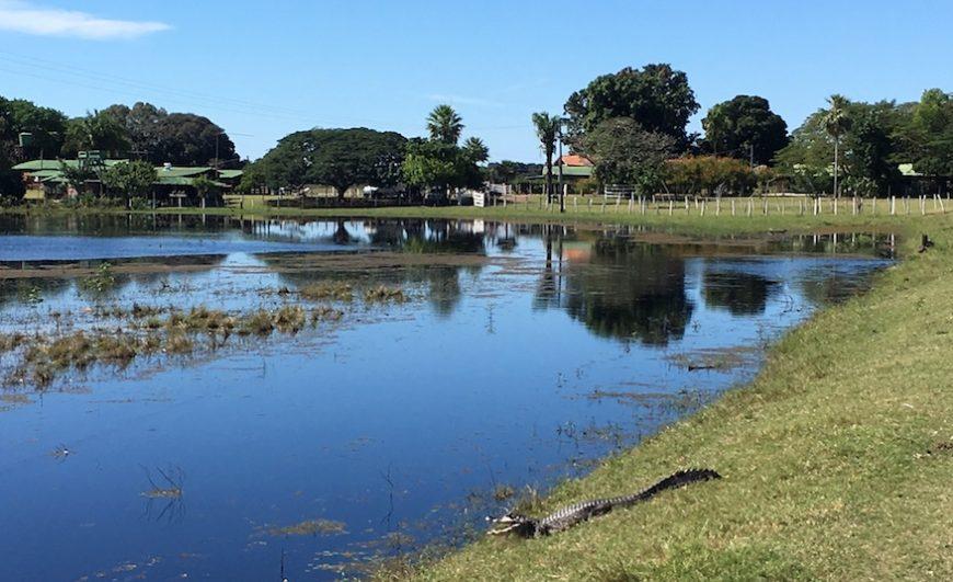 Pantanal: Dieser Kaiman gehört zwar zur Familie der Krokodile, rennt in der Regel aber davon, wenn man ihm zu nahe kommt.