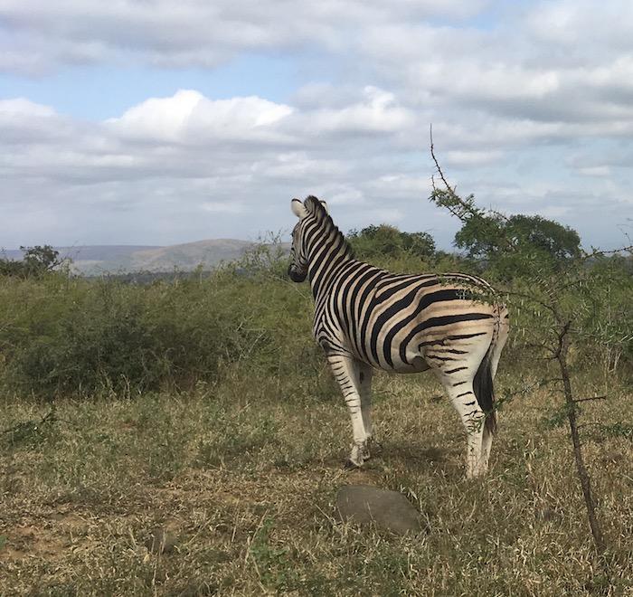 Hluhluwe-iMfolozi: Auch Zebras können nachdenklich in die Ferne sehen
