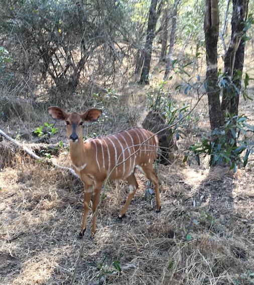 weibliches Kudu im Mkhaya Game Reserve