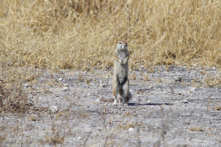 CKGR: Eichhörnchen
