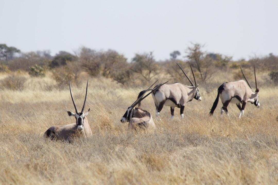 CKGR: Oryxantilopen