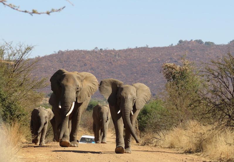 Pilanesberg: Die Elefanten sind los.