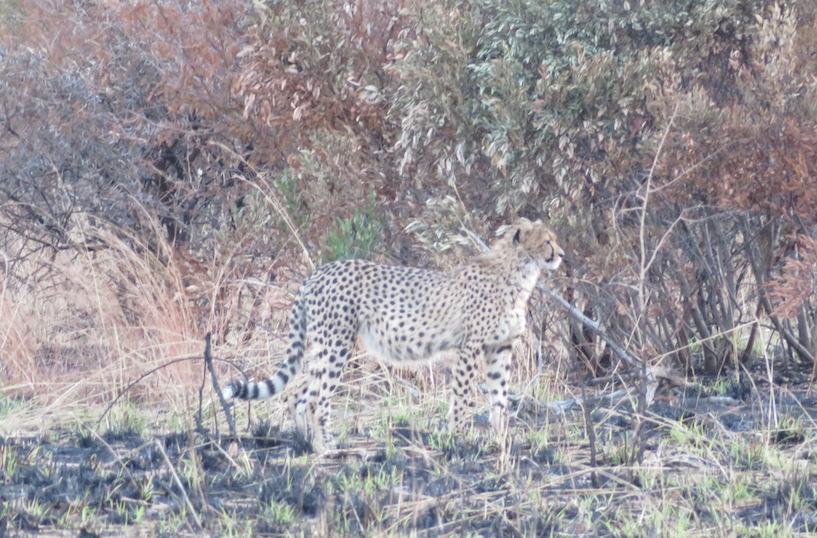 Gepard in Pilanesberg: Ganz schön schwer zu entdecken