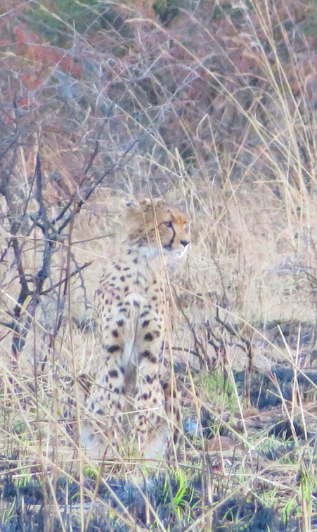 Gepard in Pilanesberg