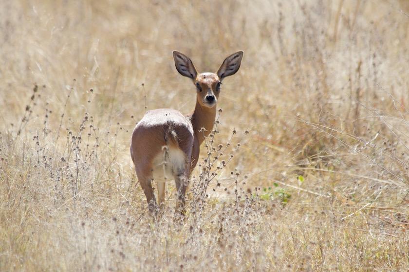 Hwange National Park: Steenbock