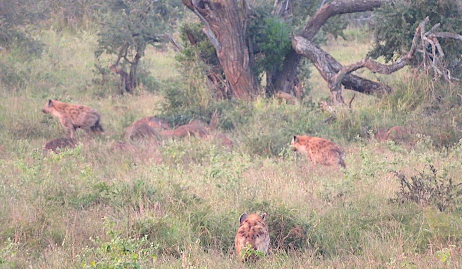Hyänen im Hluhluwe-IiMfolozi-Park