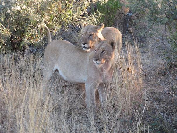 Zwei Löwen-Damen in Pilanesberg