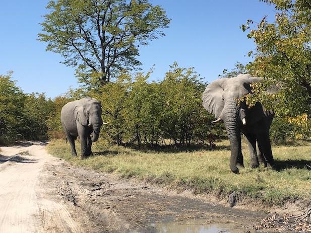 Dann lugt Elephant Nummer 2 doch hinter dem Busch hervor.