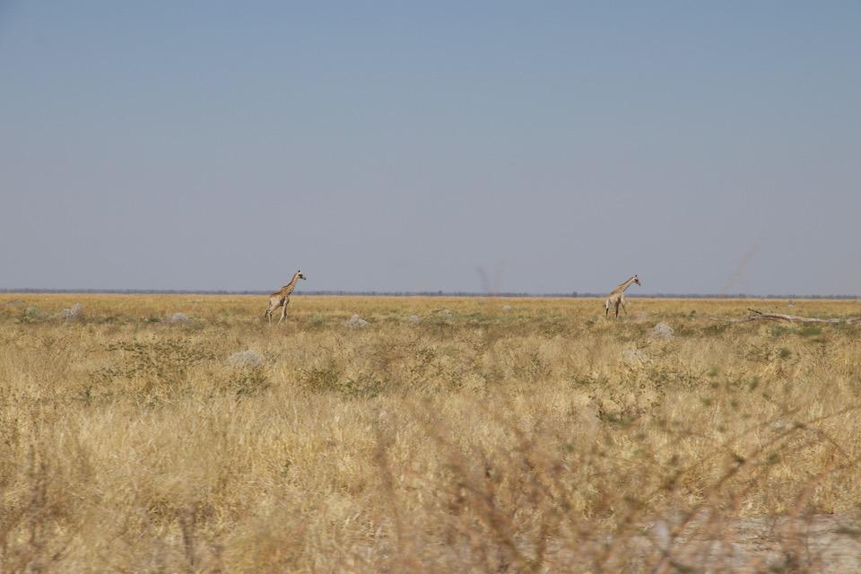 Moremi Game Reserve: Wie entspannend ist es doch, ein paar Giraffen zu treffen.