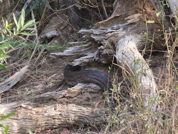 Python im Mkhaya Game Reserve
