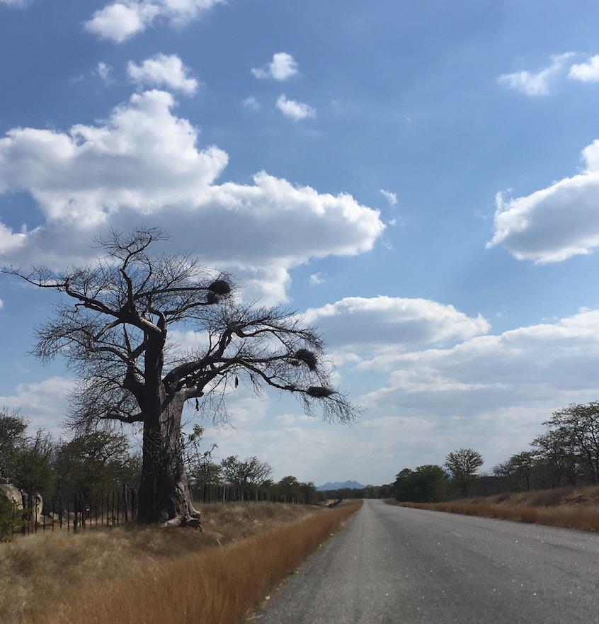 Der für Afrika so typische Baobab- (bzw. Affenbrot-) Baum.