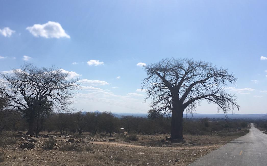 Noch ein Baobab-Baum – der Legende nach ein vom Teufel verkehrt herum gepflanzter Baum.