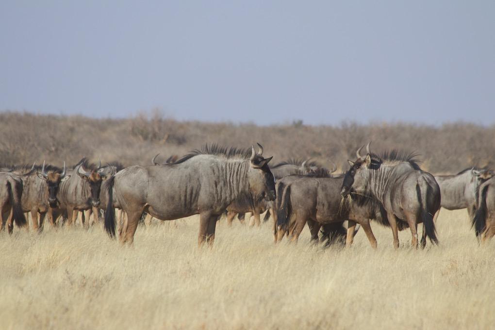 CKGR: Blue Wildebeest